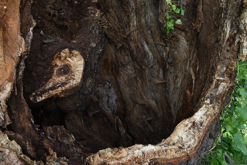 Arnultovická lípa se vlastní vahou rozlomila. Její kmen má obvod sedm metrů.