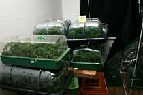 Pěstírny konopí odhalili policisté ve dvou bytech panelového domu v Bruntále. Oba zadržení přišli o velké množství sazenic i vzrostlých nebo sušených rostlin, a také o vybavení svých pěstíren.