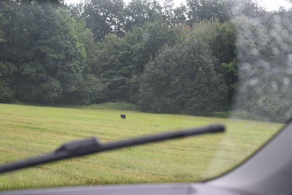 Deníku se v pondělí 29. června konečně podařilo nafotit tajuplného černého psa, pohybujícího se u silnice z Krnova do Brantic.