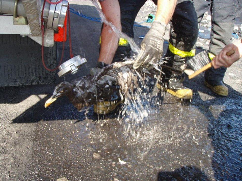 Díky pohotové akci profesionálních hasičů a především všímavosti řidiče společnosti OKD Doprava-Rekultivace přežil racek mořský pád do kaliště u Dolu ČSM v Karviné.
