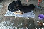 Dva psi z Města Albrechtic se rozhodli emigrovat do zahraničí. Díky obětavosti polských a českých přátel zvířat se majitelka zase shledala se svými tuláky.