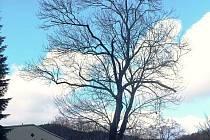 I bez listí je karlovický jasan rostoucí před základní školou více než majestátným stromem. Vysoký je zhruba dvaadvacet metrů.