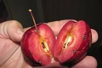 Červenomasá odrůda Baya Marisa.