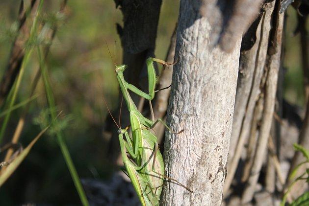 Kudlanka nábožná ještě nedávno byl kriticky ohrožený druh, který žil jen vnejteplejších lokalitách Břeclavska a Znojemska. Díky klimatickým změnám se začala šířit na sever. Tyto snímky jsou zOsoblažska.