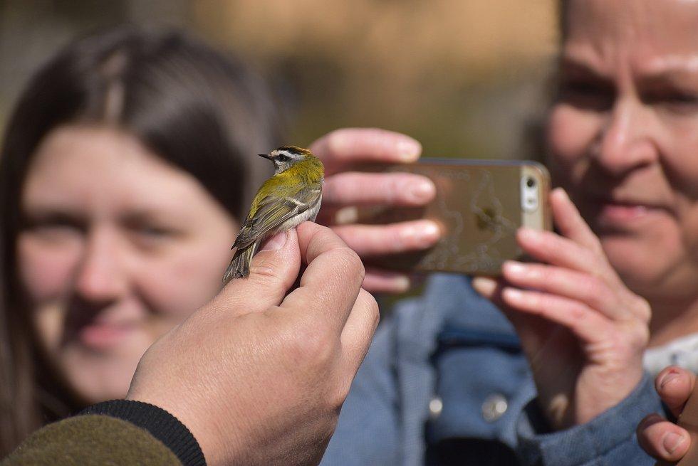 Králíček ohnivý patří k nejmenším zástupcům ptačí populace v Evropě.