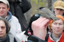 Ornitologická exkurze zastihla nejen pěnici černohlavou, ale také konopku, strakapouda či brhlíka.