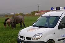 Ze Starého Města do Bruntálu se minulý týden dvakrát zatoulali tři koně. Městská policie musela vypátrat jejich majitele.
