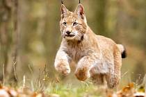 Ve Vrbně pod Pradědem se uskuteční setkání s rysem. Hlavním aktérem bude osmiměsíční kotě Blondýn (na snímku).
