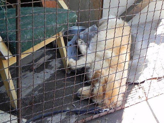 Kříženec Míša byl i v kotci stále na vodítku, protože se opakovaně snažil utéct. Tento smutný pohled se naskytl sousedům 15. července, kteří o podmínkách chovu informovali veterinu.