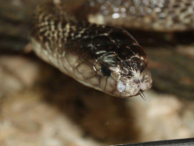 Kobra monoklová, která uštkla chovatele Vojtěcha Dzika zDětřichova nad Bystřicí, hrozila pohledem ipři fotografování.