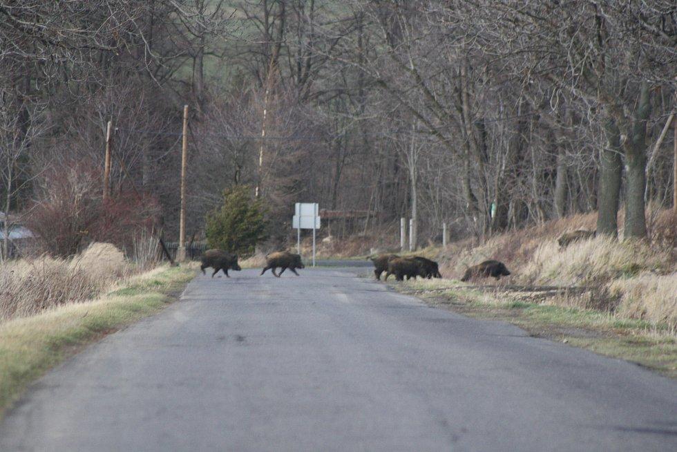 Noční srážka s divočákem je postrachem každého řidiče. Od té doby, co divoká prasata začala migrovat i přes den, je setkání se stádem divočáků pro řidiče fascinující zážitek, na jaký se nezapomíná.