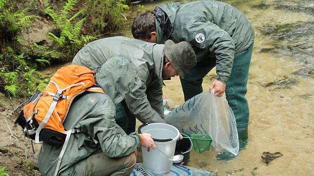 Za chladného počasí vypustili rybáři do Kamenice 60 tisíc lososích plůdků.