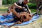 Stříhání lam alpak v děčínské zoo.