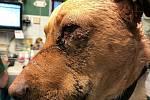 Ronnyho jeho majitel brutálně zbil. Teď je v péči útulku.