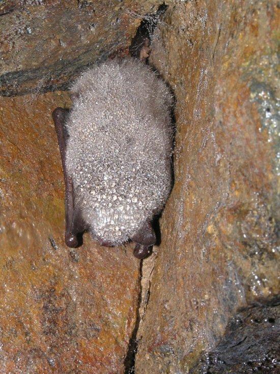 Netopýři ke svému zimování potřebují vlhkost. Někteří netopýři mají rádi vlhkost prostředí, která překračuje 90 procent.