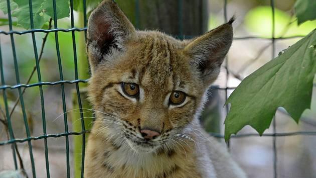 Kotě rysa ostrovida v děčínské zoo.