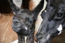 Další mládě lamy krotké, které se narodilo v ústecké zoo.