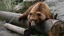 Medvěd Bruno v děčínské zoo.