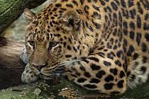 """""""Dědek"""" levhart z děčínské zoo zbaští deset kilo masa za týden."""