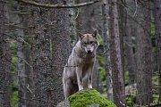 Vlk. Ilustrační foto