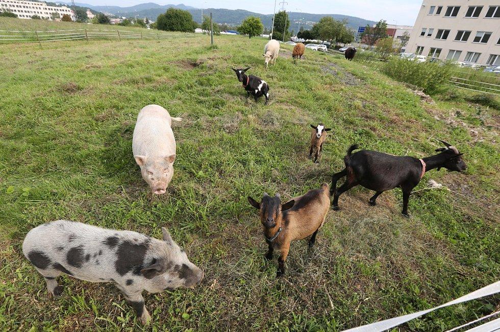 Adam Matouš z Předlic má malé zemědělské hospodářství a někdo mu bezdůvodně tráví zvířata.