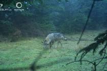 Fotopasti v Lužických horách zachytily čtyřčlennou vlčí smečku.