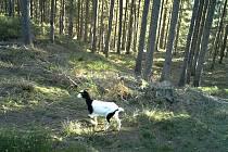 Koza žije v lesích Českého Švýcarska mezi vlky.