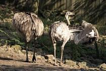 Pštrosi v zoo