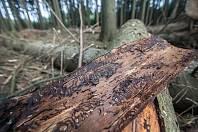 Ilustrační foto - strom napadený kůrovcem