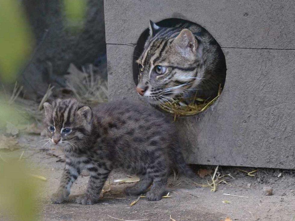 Nejvzácnějším přírůstkem jsou koťata kočky rybářské.