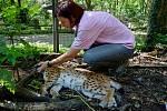 Kontrola zdravotního stavu obou rodičů v děčínské zoo..