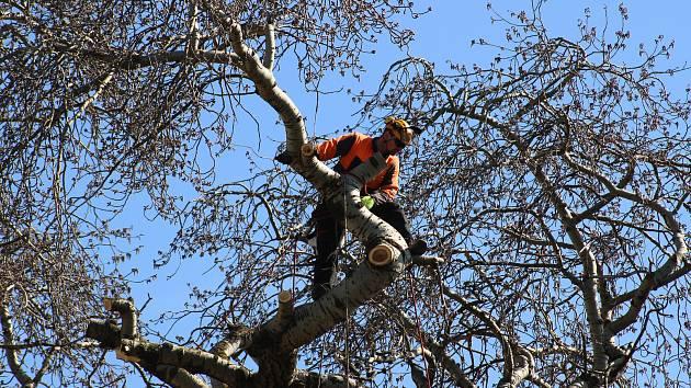 Ve Varnsdorfu pokáceli chráněný strom.