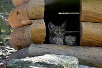 V Zoo Děčín se narodila tři rysata.