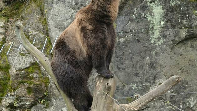 Medvěd Bruno v děčínské zoo