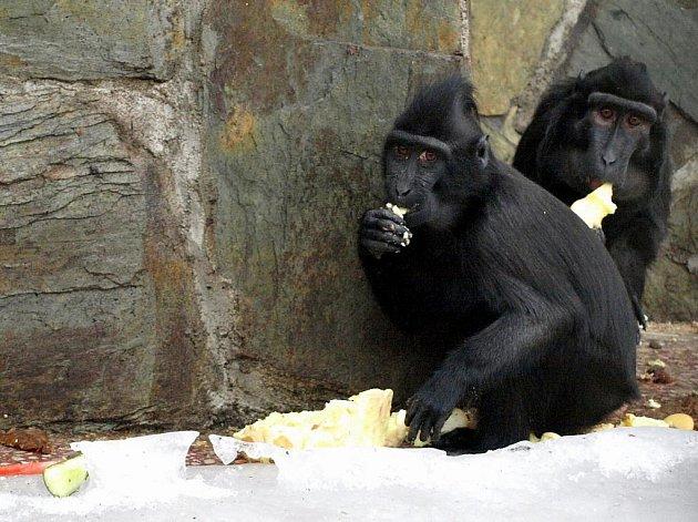 Už třetí narozeniny oslavil opičák Satu, přestože neměl lehký vstup do života. Matka Princezna se o něj neuměla po narození postarat, a proto musel do péče ošetřovatelek.