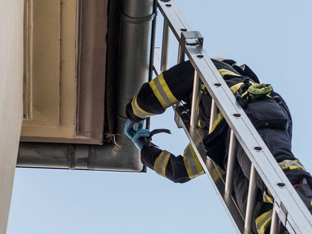 Hasiči zachraňují uvízlého opeřence v ulici Ernsta Thällmanna ve Varnsdorfu