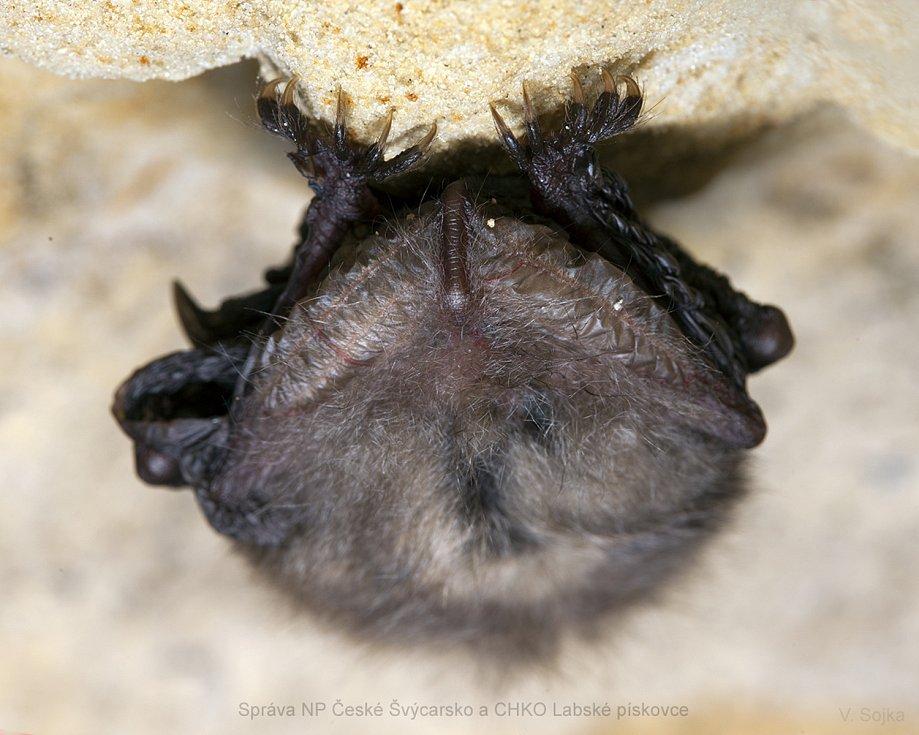 Netopýři se ve spánku udrží drápky na stěně díky tomu, že se jejich prsty v klidu sevřou a zachytí, aniž by museli namáhat svaly.