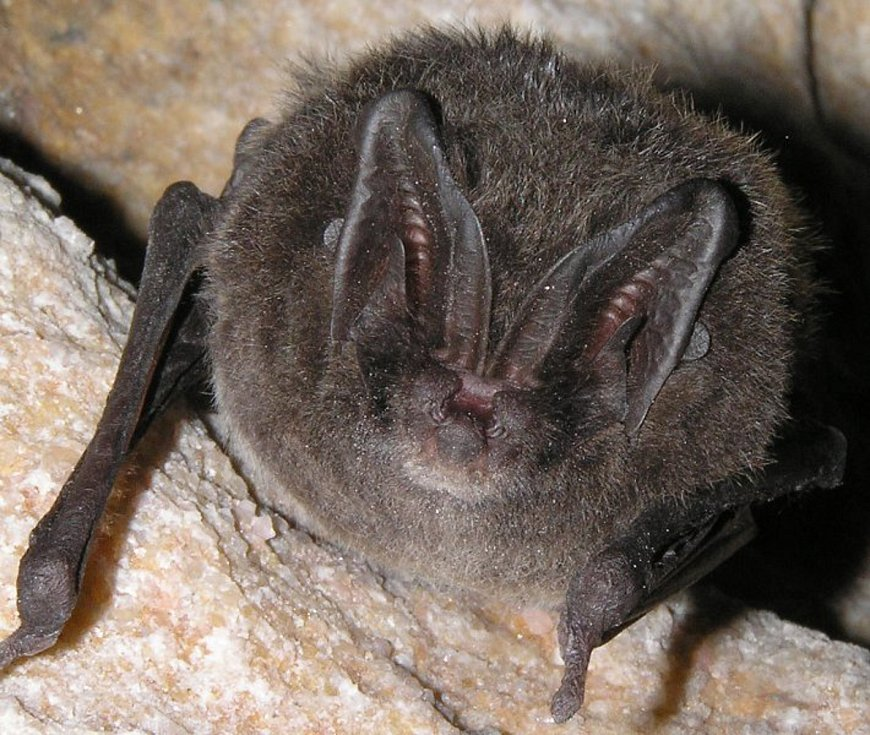 Netopýr černý je zajímavě vyhlížejícím druhem netopýra.