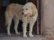I psi nosí korálky.