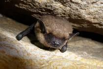Málo početným, ale o to více vítaným druhem na zimovištích je netopýr večerní.