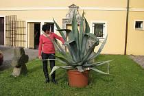 Oblastní muzeum v Děčíně daruje za odvoz letitou rostlinu Agáve o výšce i průměru dva metry.