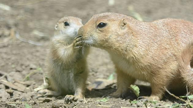 Psouni prérioví v děčínské zoo mají mláďata