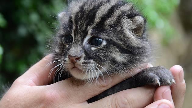 Zoo má další kotě vzácné kočky rybářské.