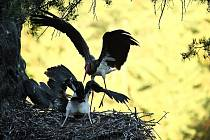 ČÁPI ČERNÍ. Na své obyvatele již čeká nově postavené hnízdo v národním parku.