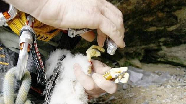 Kroužkování mláďat sokola stěhovavého a čápa černého