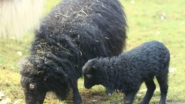 Mládě ovce ouessantské v zoo Děčín.