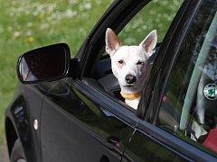 Pes v autě, ilustrační foto.