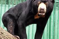 """Medvěd malajský známý taky jako """"medový medvěd"""