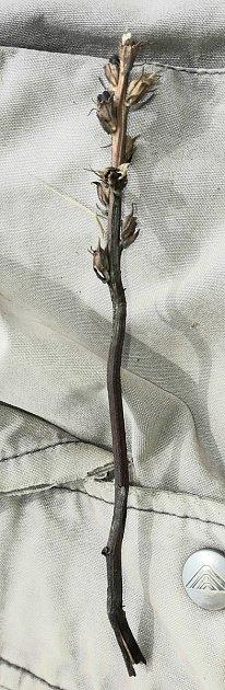 Výskyt mordovky nachové pravé uVysoké Lípy prozradila její vdobě nálezu již uschlá nadzemní část.