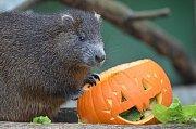 Děčínská zoo připravila pro zvířata dýňové hody